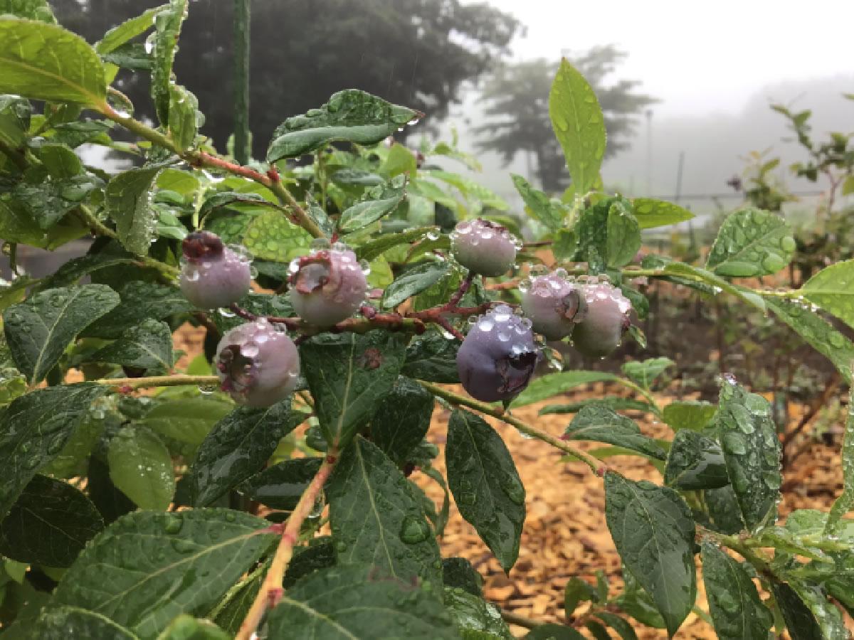 ブルーベリーの苗を少しずつ植えています