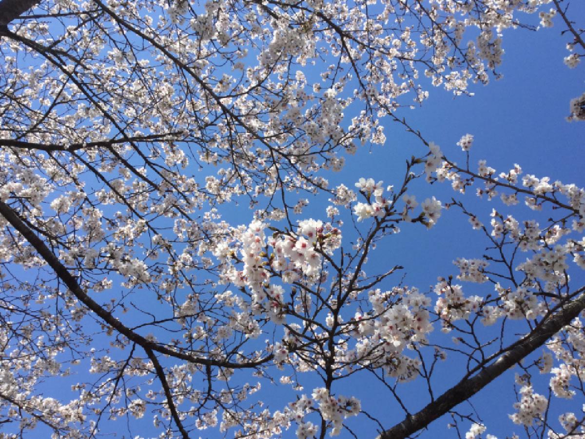 現場に向かう途中の桜