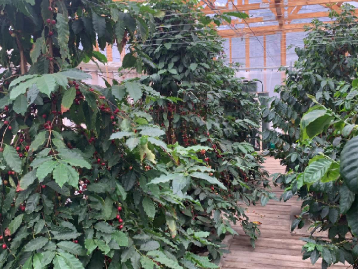 木質バイオマスの温元を利用したコーヒー豆